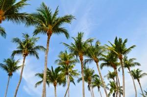 Palm tree Ko Tao, Thailand