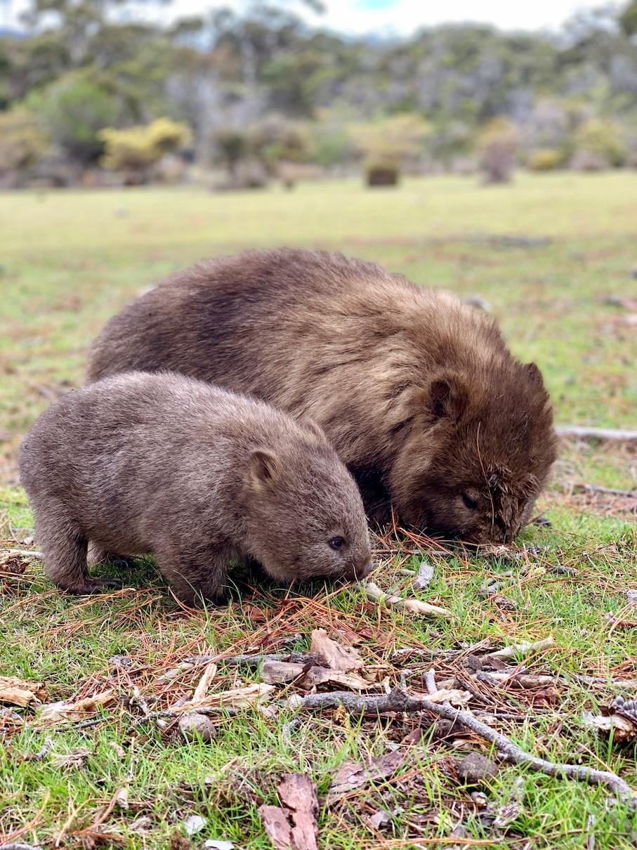 Wombats Maria Island Tasmania